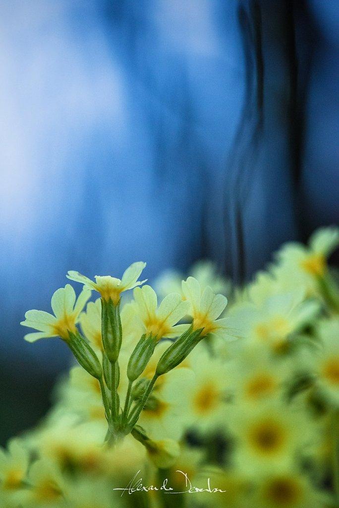 schluesselblume.jpg